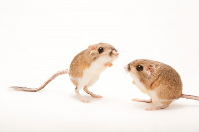 Two Merriam's kangaroo rats (Dipodomys merriami) at Fort Worth Zoo.