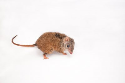 A yellow-footed antechinus (Antechinus flavipes) near Petrie, Queensland.