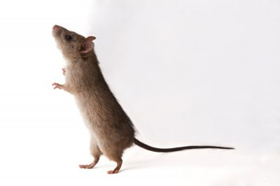 A black rat (Rattus rattus) near Petrie, Queensland.