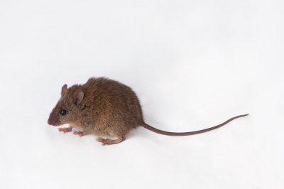 An Australian swamp rat (Rattus lutreolus) near Petrie, Queensland.