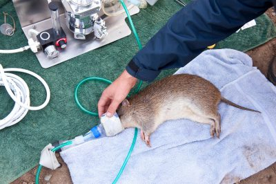 A northern brown bandicoot (Isoodon macrourus), trapped by a research team for a movement tracking study near Petrie, Queensland.