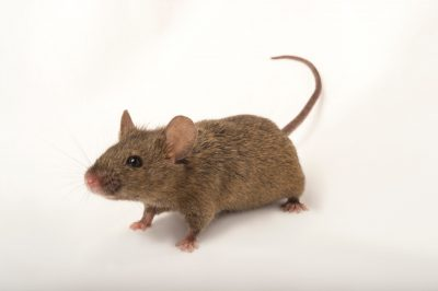 Picture of a house mouse (Mus musculus) named Peppa at the Point Defiance Zoo.