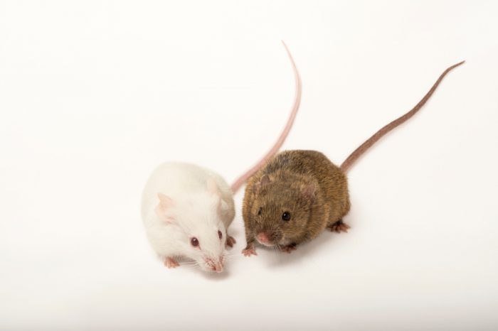 Picture of house mice (Mus musculus) named salt (albino mouse) and Peppa at the Point Defiance Zoo.