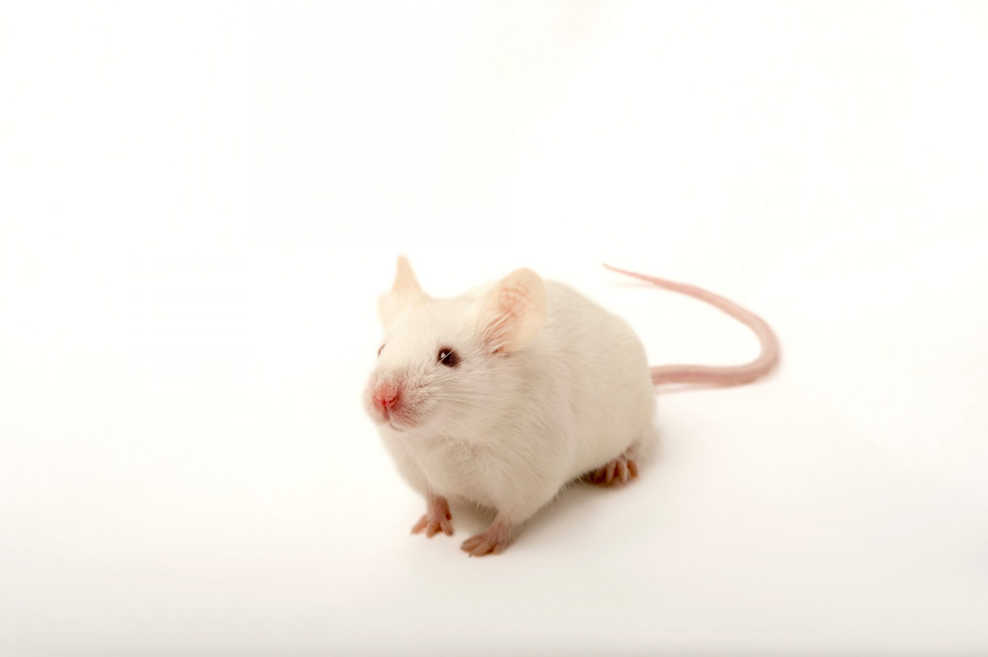 Picture of an albino house mouse (Mus musculus) named salt at the Point Defiance Zoo.