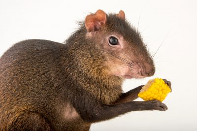 Photo: A Central American agouti, Dasyprocta punctata, at the Blank Park Zoo in Des Moines, Iowa.
