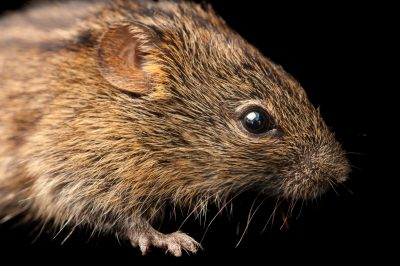 Four-striped grass mouse or four-striped grass rat (Rhabdomys pumilio) from Mt. Gorongosa in Mozambique, Africa.