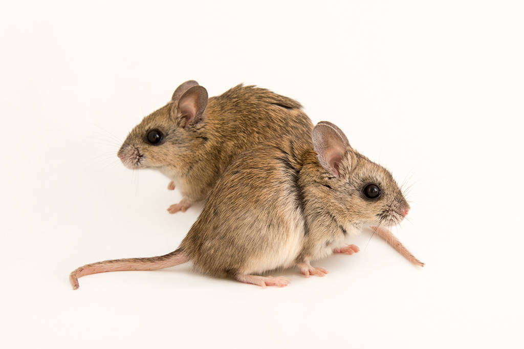 Picture of two vulnerable plains rats also known as plains mice (Pseudomys australis) at the Taronga Zoo in Sydney, Australia.