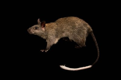 Picture of a rare Black-footed tree rat (Mesembriomys gouldii) named Pandy at the Taronga Zoo in Sydney, Australia.