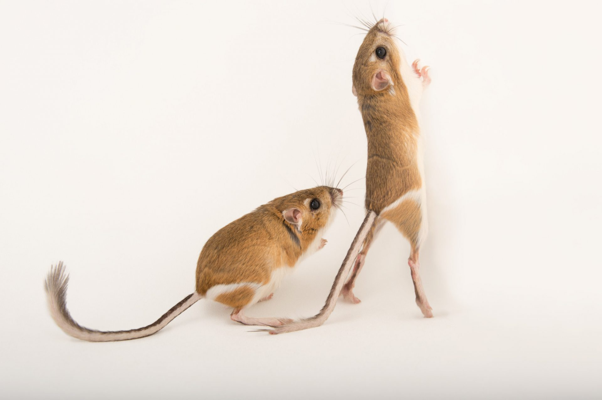 Picture of a mother and daughter Ord's kangaroo rat (Dipodomys ordii) at the Fort Worth Zoo.