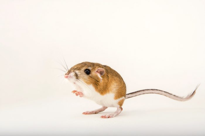 Picture of an Ord's kangaroo rat (Dipodomys ordii) at the Fort Worth Zoo.