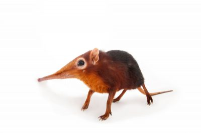 A vulnerable black and rufous elephant shrew (Rhynchocyon petersi) at Omaha's Henry Doorly Zoo and Aquarium, Omaha, Nebraska.