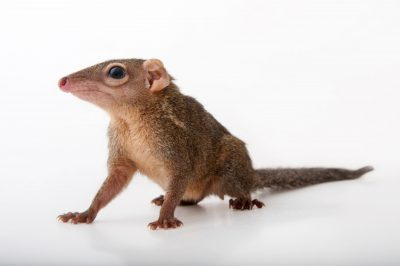 A northern treeshrew (Tupaia belangeri) at the Gladys Porter Zoo in Brownsville, Texas.