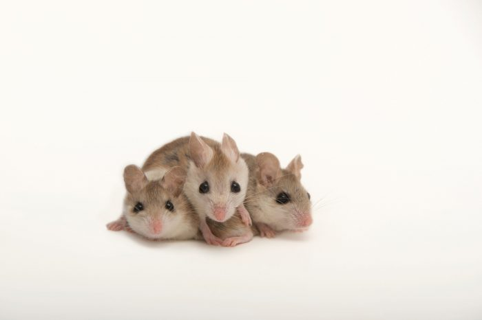 Picture of federally endangered Perdido Key beach mice (Peromyscus polionotus trissyllepsis).