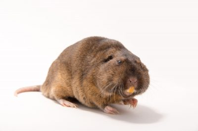 Picture of a Botta's pocket gopher (Thomomys bottae) at the Sulphur Creek Nature Center.