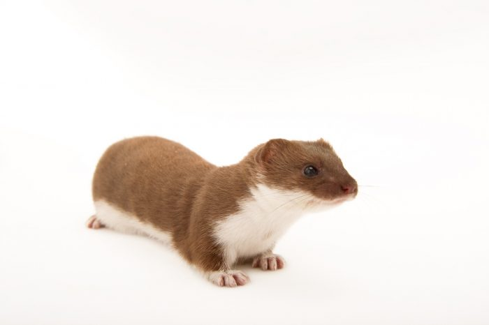 A least weasel (Mustela nivalis allegheniensis) at Western North Carolina Nature Center.