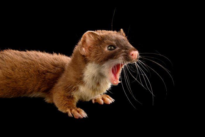 Picture of a New York weasel (Mustela frenata noveboracensis) at the John Ball Zoo in Grand Rapids, Michigan.