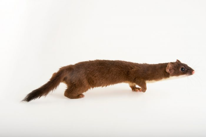 Picture of a New York weasel (Mustela frenata noveboracensis) at the John Ball Zoo in Grand Rapids, Michigan.