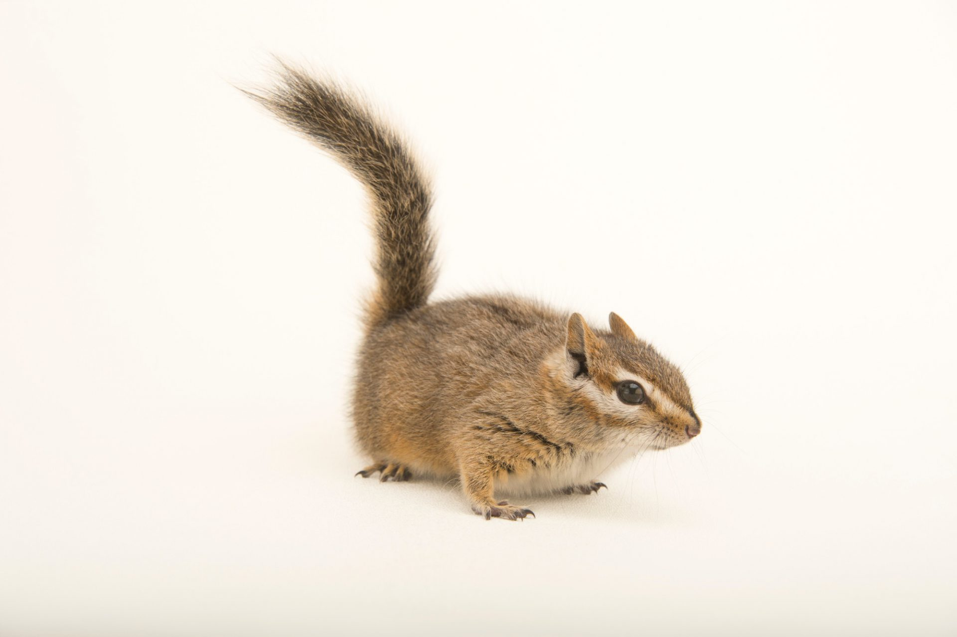 Picture of a Hopi chipmunk (Neotamias rufus) at the Wildlife Rehabilitation Center of Northern Utah.
