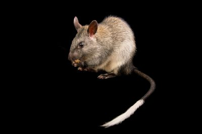 Picture of a black-footed tree rat (Mesembriomys gouldii) named Pandy at the Taronga Zoo.