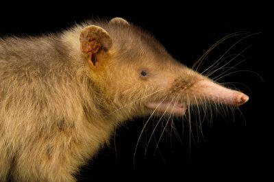 Picture of an endangered (IUCN) and federally endangered Hispaniolan solenodon (Solenodon paradoxus) at Parque Zoologico Nacional in the Dominican Republic. The second lower incisor tooth of this animal is grooved and can be used to deliver a venomous saliva. This is one of the only venomous mammals on Earth.