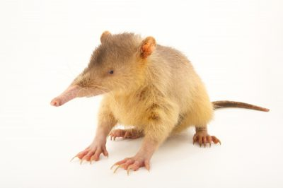 Picture of an endangered (IUCN) and federally endangered Hispaniolan solenodon (Solenodon paradoxus) at Parque Zoologico Nacional in the Dominican Republic.