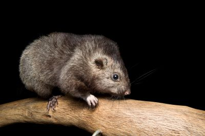 Picture of an endangered Panay cloudrunner (Crateromys heaneyi) at the LA Zoo.
