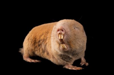 A Mechow's mole rat (Cryptomys mechowi) at the Houston Zoo.