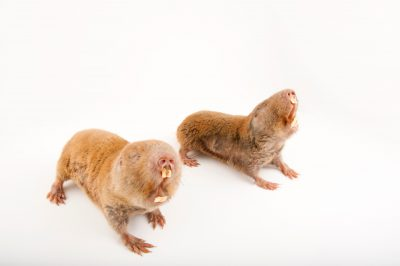 Mechow's mole rats (Cryptomys mechowi) at the Houston Zoo.