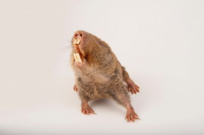 Mechow's mole rats (Cryptomys mechowi) at the Houston Zoo.