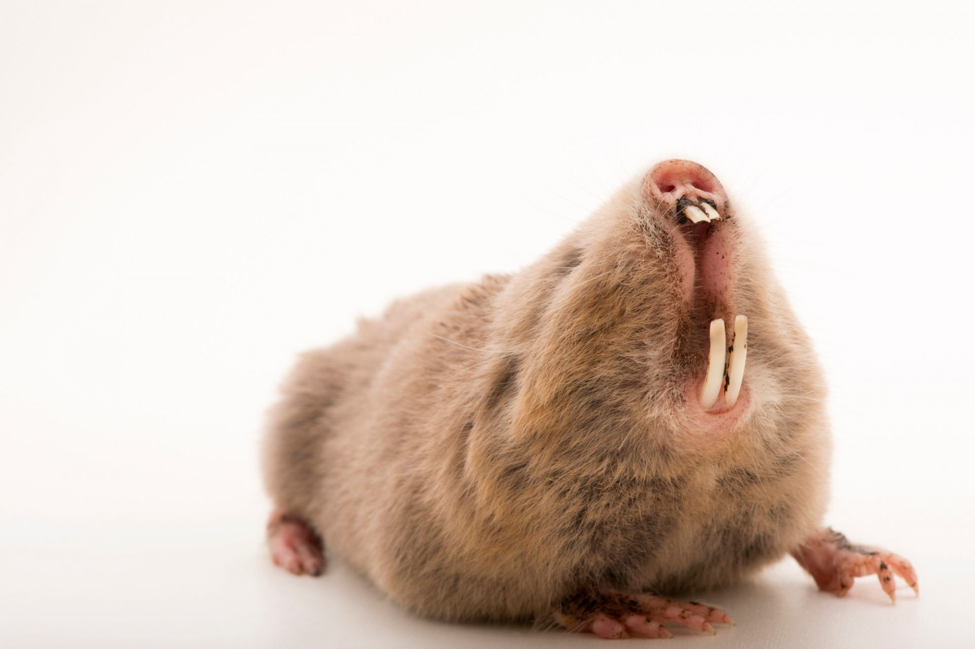 Picture of a silvery mole rat (Heliophobius argenteocinereus) at the Plzen Zoo in the Czech Republic.