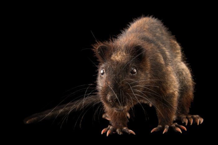 Picture of a vulnerable Southern Luzon giant cloud Rat (Phloeomys cumingi) at the Plzen Zoo in the Czech Republic.