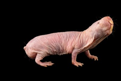Picture of a naked mole-rat (Heterocephalus glaber) at the Saint Louis Zoo.