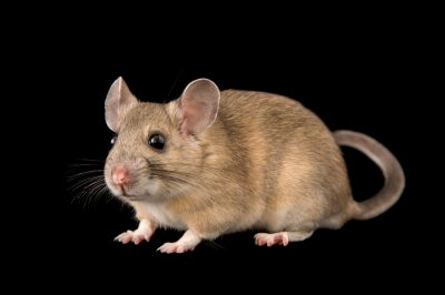 Picture of a white-throated woodrat (Neotoma albigula) at the University of Utah.