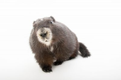 Picture of a critically endangered (IUCN) and federally endangered Vancouver Island marmot, Marmota vancouverensis, at the Toronto Zoo.