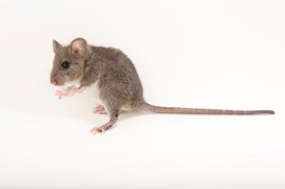 Picture of a dusky footed woodrat (Neotoma fuscipes) at the Wildlife Center of Silicon Valley.
