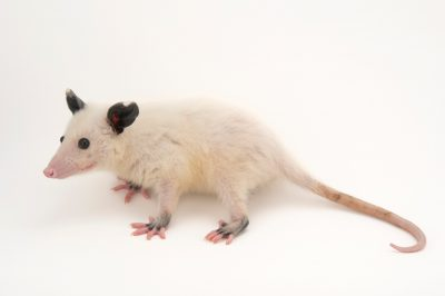 Picture of a leucistic juvenile Virginia opossum (Didelphis virginiana) at the Wildlife Center of Silicon Valley.