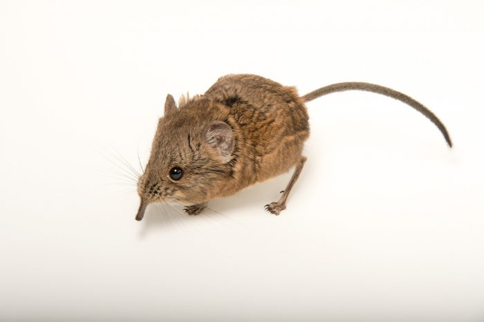 Picture of a short eared elephant shrew (Macroscelides proboscideus) at the Knoxville Zoo.