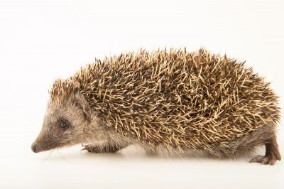 Photo: Northern white-breasted hedgehog (Erinaceus roumanicus) from the Budapest Zoo.