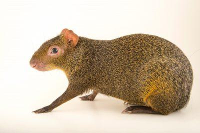 Photo: Azara's agouti (Dasyprocta azarae) from the Budapest Zoo.