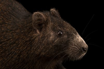 Photo: A Desmarest's hutia (Capromys pilorides) at the Faunia zoo in Madrid, Spain.