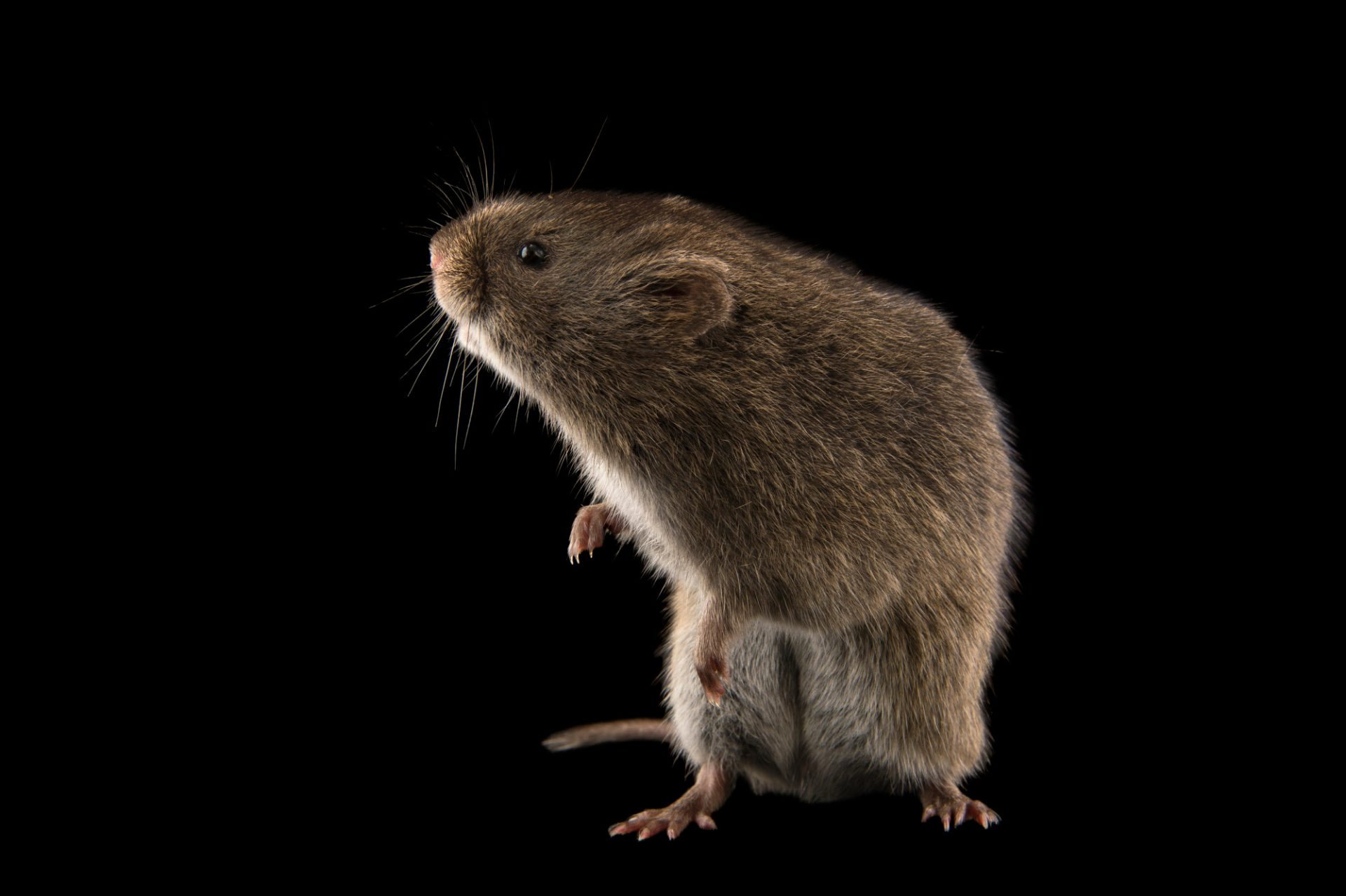 Photo: Reed vole (Microtus fortis) at the Plzen Zoo in the Czech Republic.