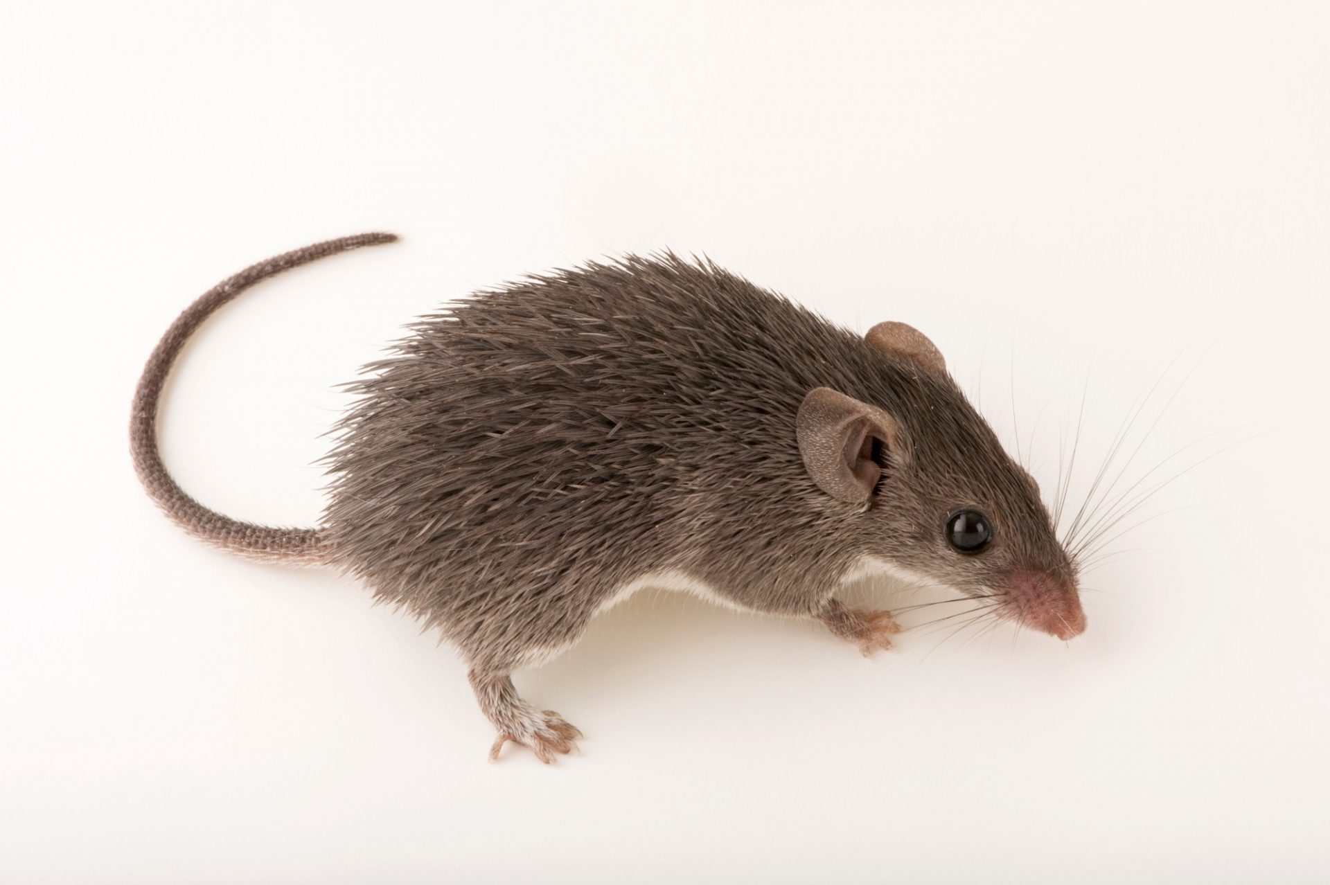 Photo: A Percival's spiny mouse (Acomys percivali) at the Plzen Zoo.