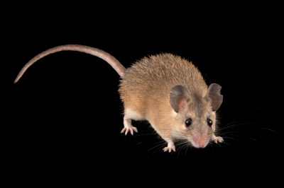 Photo: An Asia Minor spiny mouse (Acomys cilicicus) at the Plzen Zoo in the Czech Republic.