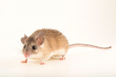 Photo: A critically endangered Asia Minor spiny mouse (Acomys cilicicus) at the Plzen Zoo in the Czech Republic.