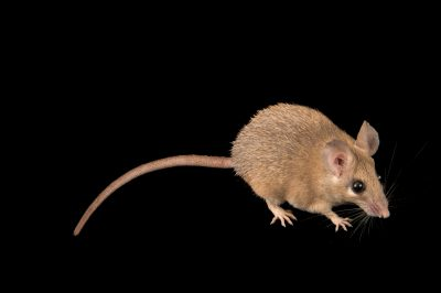 Photo: A Seurat's spiny mouse (Acomys cahirinus seurati) at the Plzen Zoo.