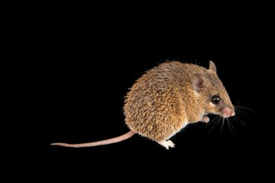 Photo: A common spiny mouse, Acomys spinosissimus, at the Plzen Zoo.