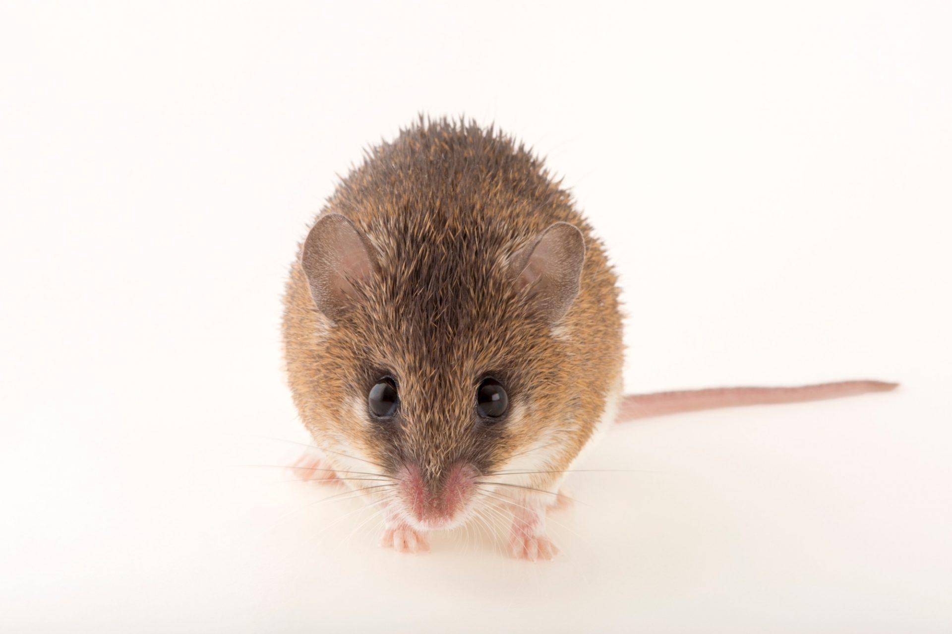 Photo: A common spiny mouse (Acomys spinosissimus) at the Plzen Zoo.