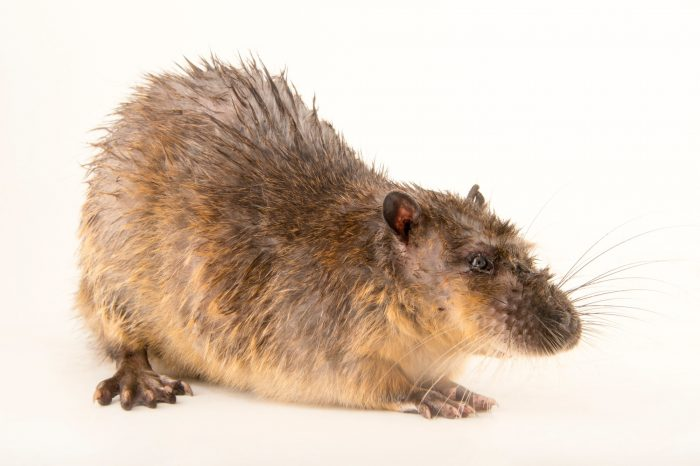 Photo: An Australian water rat (Hydromys chrysogaster) at the Plzen Zoo.
