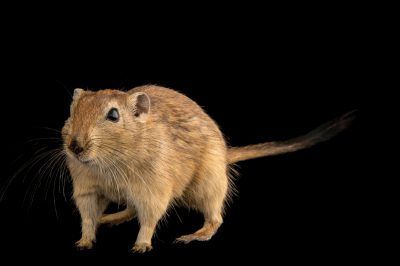 Photo: A sand rat (Psammomys obesus) at the Plzen Zoo.