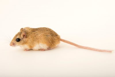 Photo: A Wagner's gerbil (Gerbillus dasyurus) at the Plzen Zoo in the Czech Republic.